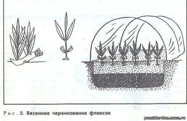 Зимовка лилейников